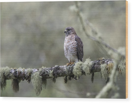 Roadside Hawk Perched On A Lichen-covered Branch 2 Wood Print