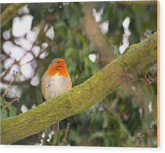 Robin On Branch Wood Print by Dave Woodbridge