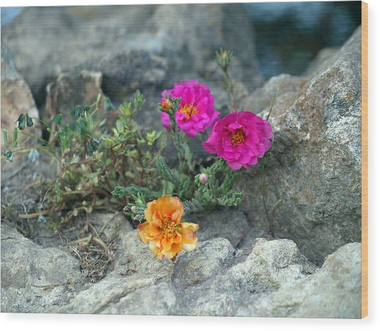 Rock Rose Wood Print by Corina Bishop