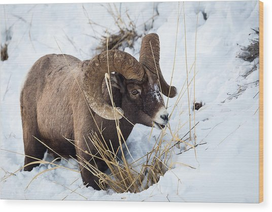 Rocky Mountain Bighorn Sheep Wood Print