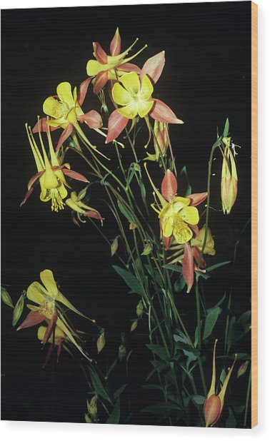 Rocky Mountain Columbine Flowers Wood Print by Brian Gadsby/science Photo Library