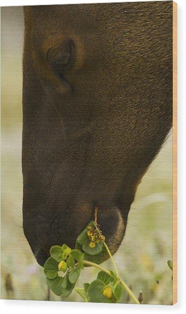 Roosevelt Elk Solemnly Feeding On The Beach Wood Print by Phil Johnston