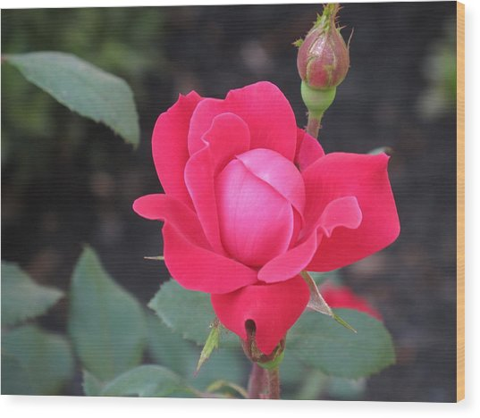 Ro's Last Rose Of Summer Wood Print