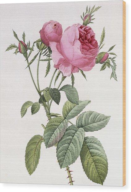 Rosa Centifolia Foliacea Wood Print