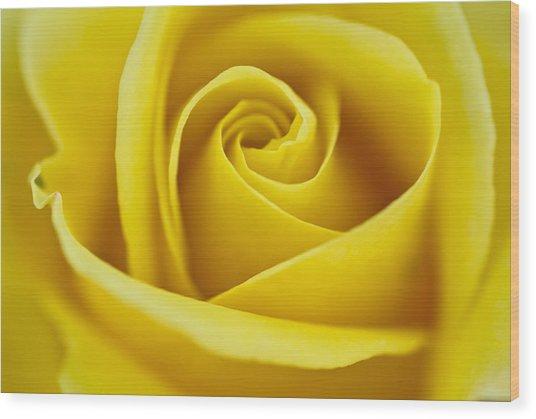Rosa 'freedom' Wood Print