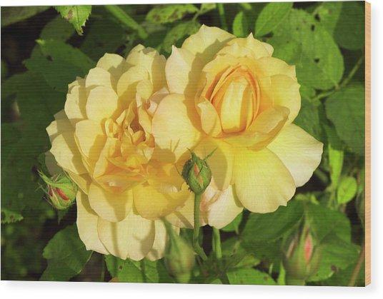 Rosa 'pegasus' Wood Print