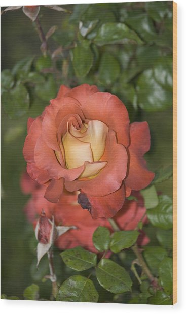 Rose 6 Wood Print