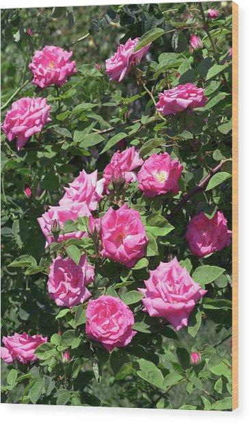 Rose (albertine). Rambler Rose Wood Print