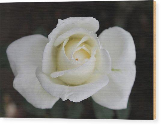 Rose Flower Wood Print by Amila Madushanka