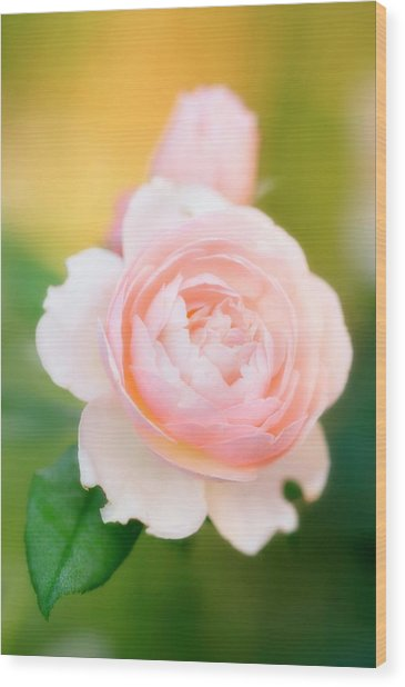 Rose Flowers (rosa Hybrid) Wood Print by Maria Mosolova/science Photo Library