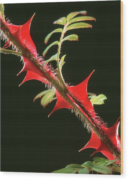 Rose Thorns Wood Print by Sheila Terry/science Photo Library