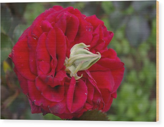 Rose With A Nose Wood Print by Christine Burdine
