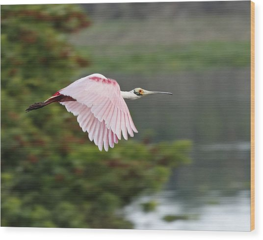 Roseate Spoonbill In Flight Wood Print