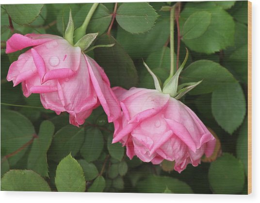 Roses After The Shower Wood Print