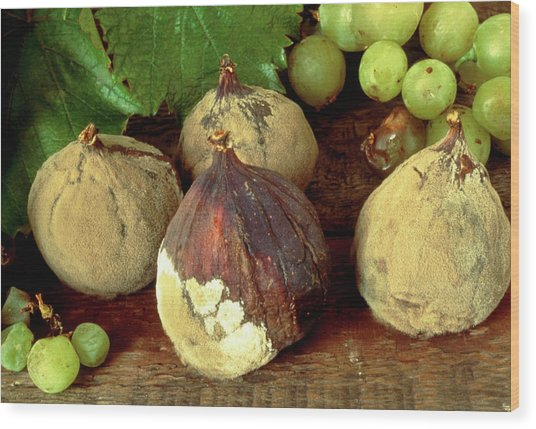 Rotting & Mouldy Figs Wood Print by Sidney Moulds/science Photo Library