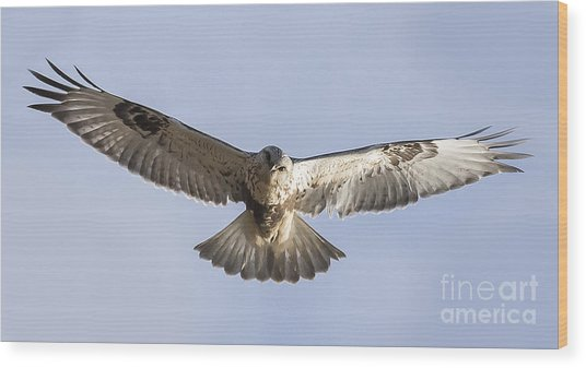 Rough-legged Hawk Coming Right At You Wood Print by Ricky L Jones