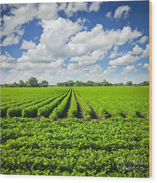 Rows Of Soy Plants In Field Wood Print