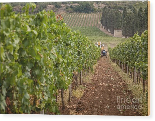 Rows On Vines With A Mechanical Harvester In The Distance Harves Wood Print