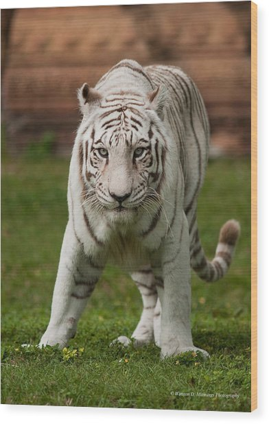 Royal Bengal Tiger Wood Print