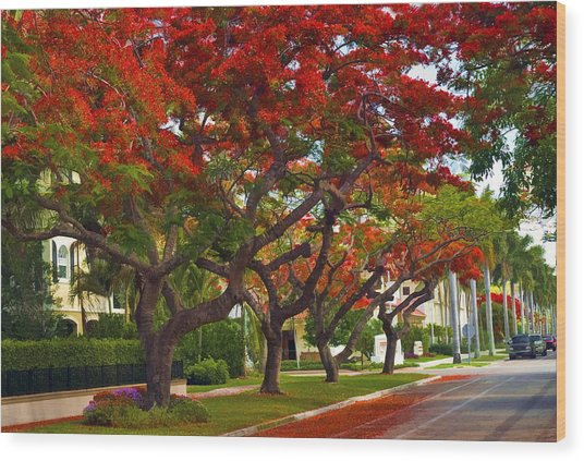 Royal Poinciana Trees Blooming In South Florida Wood Print