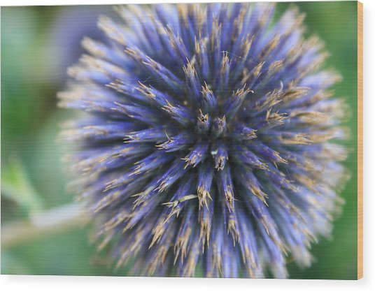 Royal Purple Scottish Thistle Wood Print
