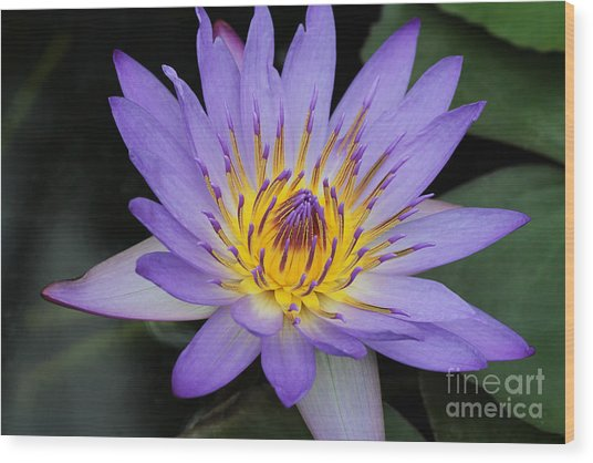 Royal Purple Water Lily #4 Wood Print