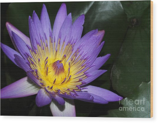 Royal Purple Water Lily #6 Wood Print