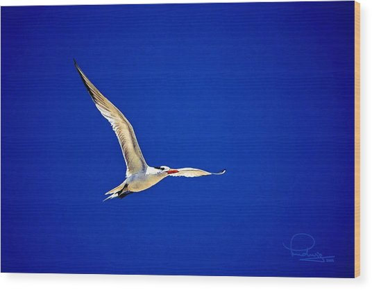 Royal Tern 2 Wood Print