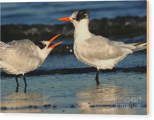 Royal Tern Courtship Dance Wood Print