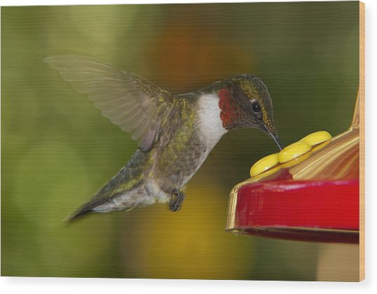 Ruby-throat Hummer Sipping Wood Print