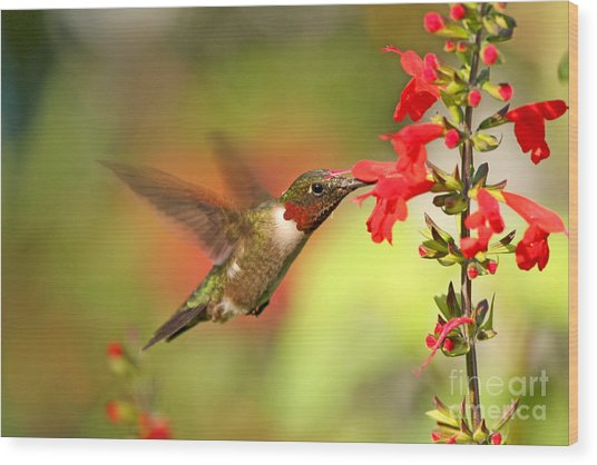 Ruby Throat Hummingbird Photo Wood Print