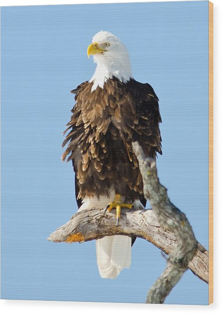 Ruffled Eagle Wood Print
