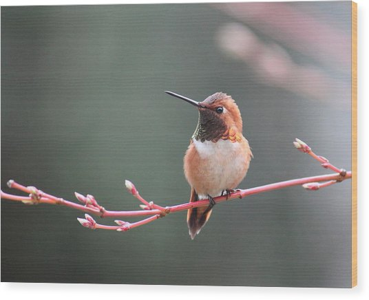 Rufous Hummingbird 2 Wood Print