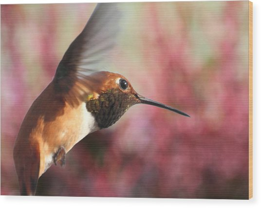 Rufous Hummingbird Wonder Wood Print