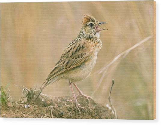 Rufous-naped Lark Wood Print