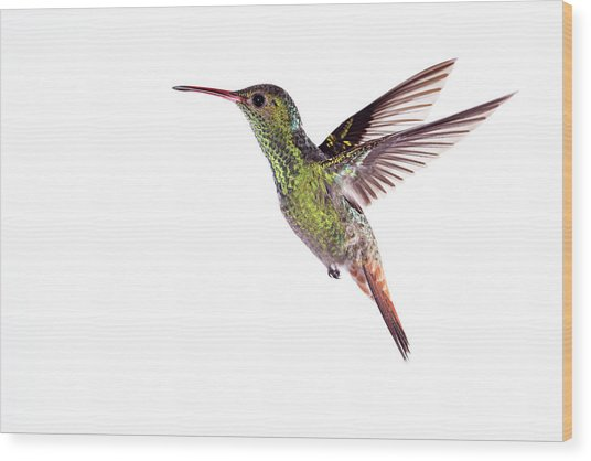 Rufous-tailed Hummingbird Wood Print