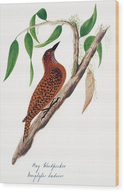 Rufous Woodpecker Wood Print