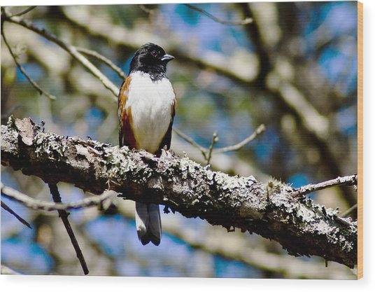 Rufus Sided Towhee Wood Print by Dennis Coates