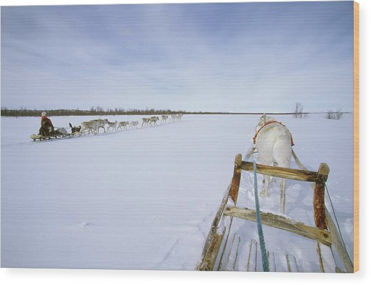 Saami Woman On Sleigh Drives Flock Wood Print