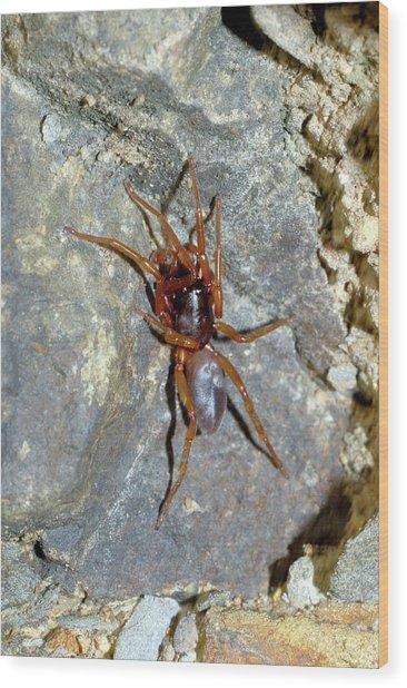 Sac Spider (clubiona Sp.) Wood Print