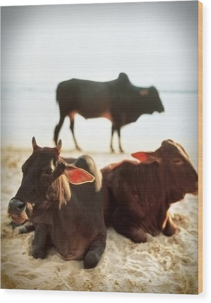 Sacred Cows On The Beach Wood Print
