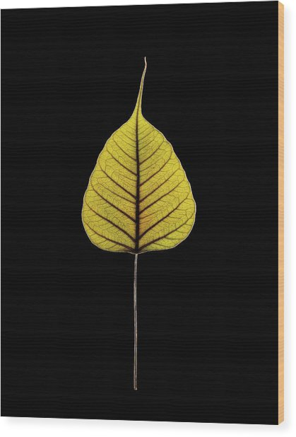 Sacred Fig (ficus Religiosa) Leaf Wood Print by Gilles Mermet