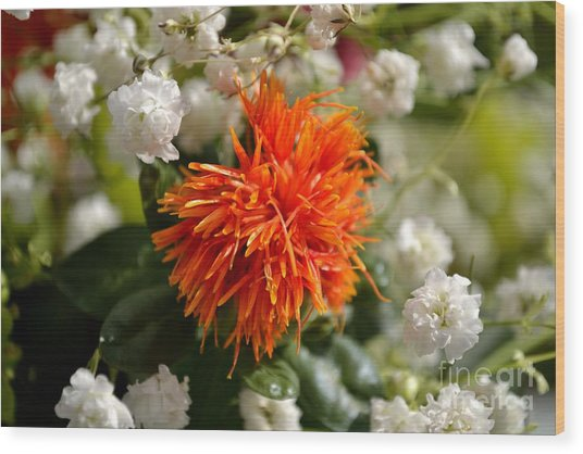 Safflower Amongst The Gypsophilia Wood Print