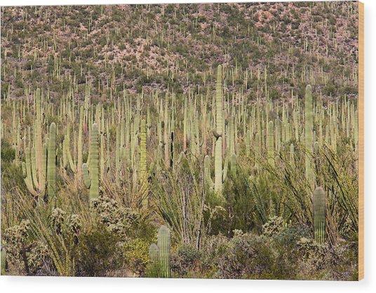 Saguaro Colony Wood Print