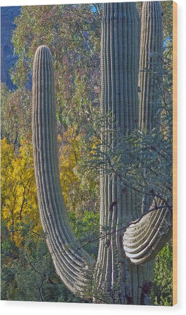Saguaro Fall Color Wood Print