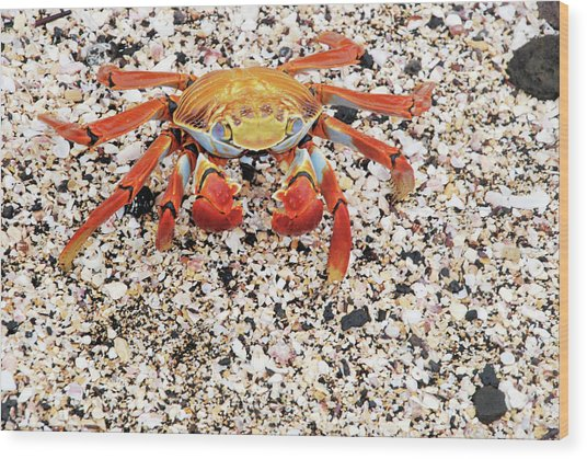 Sally Lightfoot Crab Wood Print by Sue Ford/science Photo Library