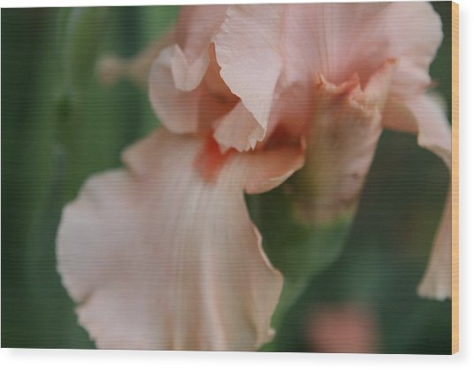 Salmon Colored Iris Wood Print by Debbie Sikes