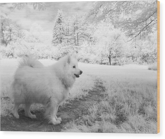 Samoyed In Ir Wood Print by Eric Peterson