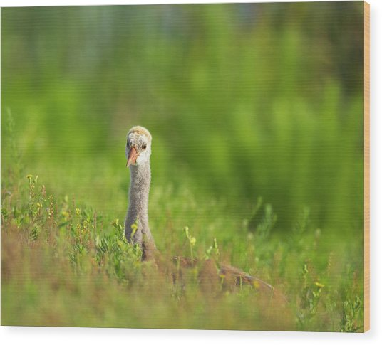 Sandhill Crane Chick Resting In Grass Wood Print