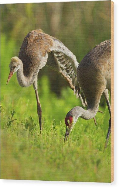 Sandhill Crane Chick Stretching Wood Print
